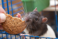 Rat in a cage eating cookies Stock Image