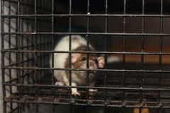 Rat in cage royalty free stock images