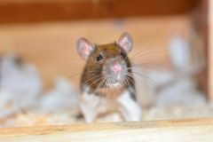 Rat in a cage. See my other works in portfolio royalty free stock photography