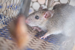 Rat in a cage trap. A small rat get caught in a cage trap Royalty Free Stock Images