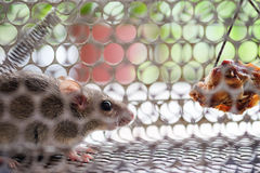 Rat in a cage trap. A small rat get caught in a cage trap Stock Photos