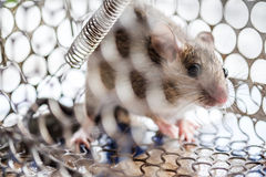 Rat in a cage trap. A small rat get caught in a cage trap Stock Photography