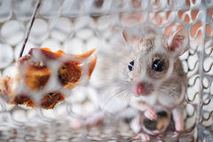 Rat in a cage trap. A small rat get caught in a cage trap Stock Photo