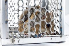 Rat in the cage trap Stock Photos