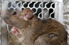 Rat in the caged Royalty Free Stock Photography
