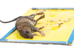 Rat captured on disposable glue trap board isolated in white Royalty Free Stock Photography