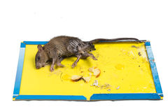 Rat captured on disposable glue trap board isolated in white Stock Photo