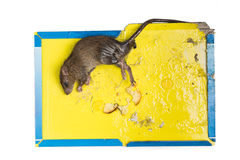 Rat captured on disposable glue trap board isolated in white Stock Photography