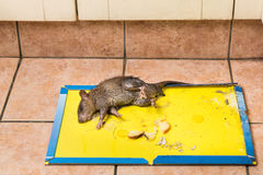 Rat captured on disposable glue trap board on kitchen floor Stock Photography
