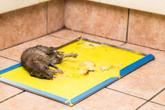 Rat captured on disposable glue trap board on kitchen floor Stock Images
