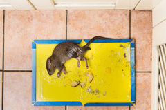 Rat captured on disposable glue trap board on kitchen floor Royalty Free Stock Photos