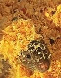 Rat& x27; cara pequena bonito de s fotografia de stock
