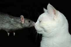 Rat and cat. Silver rat and white cat kissing each other Stock Images