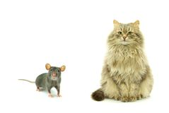 Rat and cat Royalty Free Stock Photos