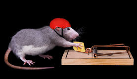 Rat cheating death royalty free stock photography