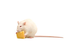 Rat with chees Royalty Free Stock Photos
