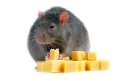 Rat and cheese. Isolated on white background Stock Photo