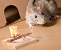 Rat and cheese. Rat and mousetrap with cheese royalty free stock photos