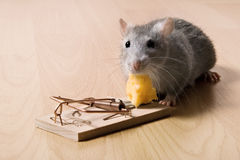 Rat and cheese. Rat and mousetrap with cheese Royalty Free Stock Images