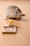 Rat and cheese. Rat and mousetrap with cheese Stock Image