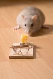Rat and cheese. Rat and mousetrap with cheese stock photos