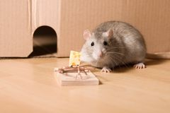Rat and cheese. Gray rat near hole and mousetrap with cheese, animal looking at camera Stock Images