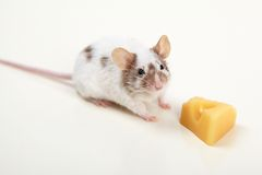 Rat with cheese isolated on white background Stock Image