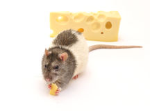Rat and cheese Royalty Free Stock Photo