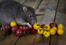 Rat and cherry tomatoes. Royalty Free Stock Photo