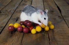 Rat and cherry tomatoes. Stock Photo