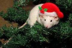 A rat in a Christmas hat, a Christmas mouse. Symbol of the new 2020 in the Chinese calendar. New year and Christmas concept. A rat in a Christmas hat, a stock images