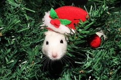 A rat in a Christmas hat, a Christmas mouse. Symbol of the new 2020 in the Chinese calendar. New year and Christmas concept royalty free stock images