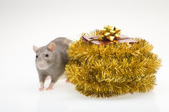 Rat and Christmas present Stock Photos