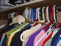 Rat climbing over clothes stock photo