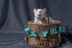 Rat close-up on a dark background stock photo