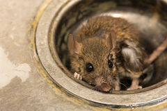 Rat. Close up dirty Rat  hiding on sink ,in kitchen room Stock Photos