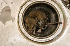Rat. Close up dirty Rat on sink ,in kitchen room Stock Image