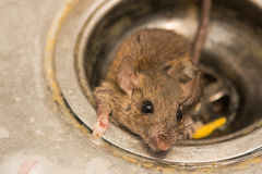 Rat. Close up dirty Rat on sink ,in kitchen room Stock Images