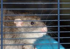 Rat close up Stock Photo