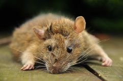 Rat close-up Stock Photography