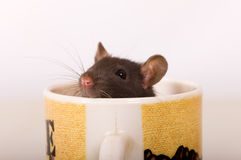 Rat instead of coffee Stock Photo