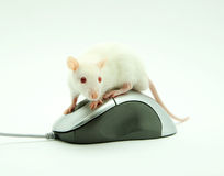 Rat on computer mouse Stock Image
