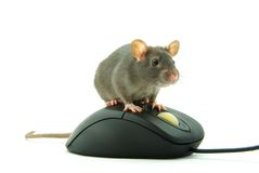 Rat on computer mouse Stock Images