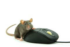 Rat and  computer mouse Royalty Free Stock Images