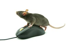 Rat on computer mouse Royalty Free Stock Image