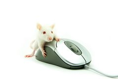 Rat on computer mouse Royalty Free Stock Images