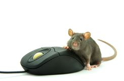 Rat and  computer mouse Stock Images