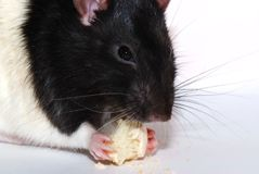 Rat with cookie Stock Image