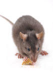 Rat with cookies Stock Image