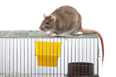Rat on a coop Royalty Free Stock Photo